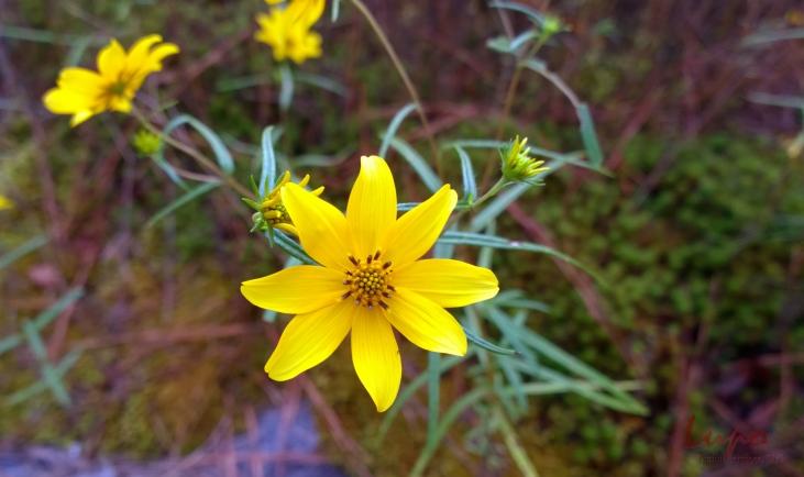 Yellow Daisy #1, Stone Mountain, GA, 6 September 2014