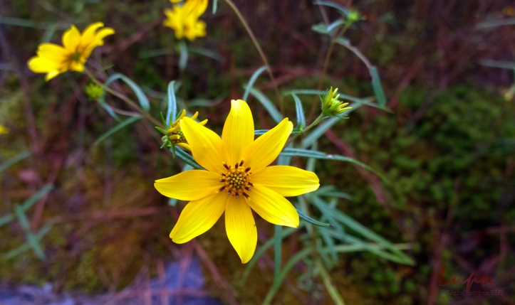 Yellow Daisy #1, Stone Mountain, GA, 6 September 2014