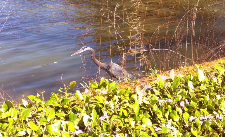 Blue Heron, Atlanta, GA, 1 April 2014, #1
