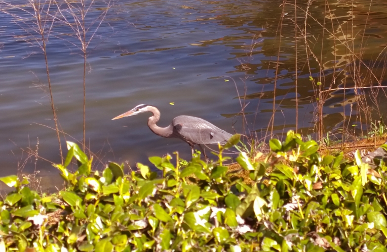 Blue Heron, Atlanta, GA, 1 April 2014, #2