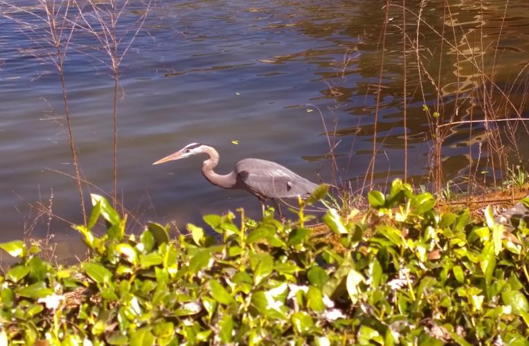 Blue Heron, Atlanta, GA, 1 April 2014, #2