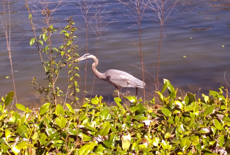 Blue Heron, Atlanta, GA, 1 April 2014, #3