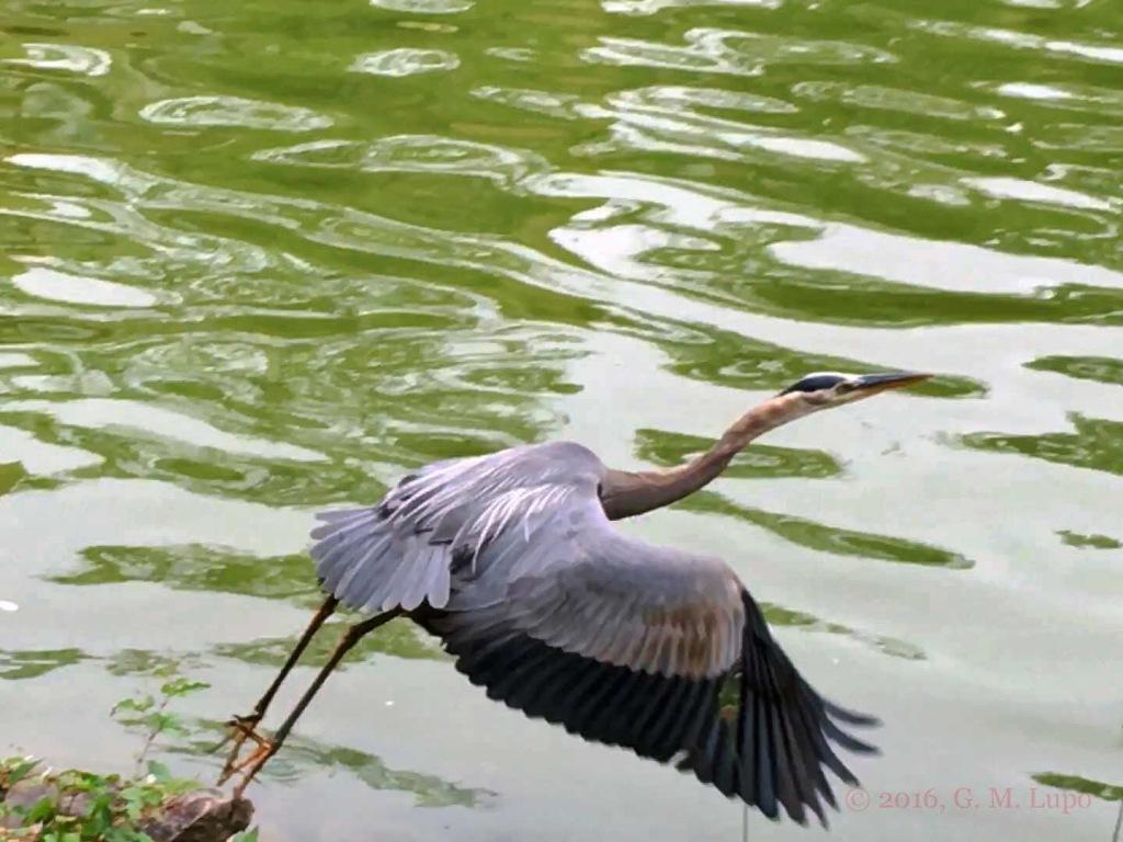 blue heron 06-06-16 08b